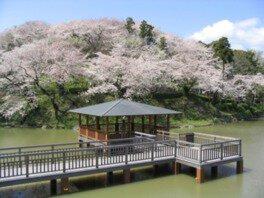 清水船越堤公園(船越堤公園)の桜