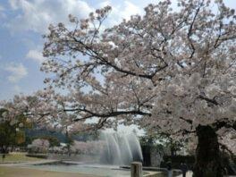 吉香公園の桜