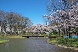 都立代々木公園の桜