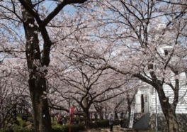 境台場公園の桜