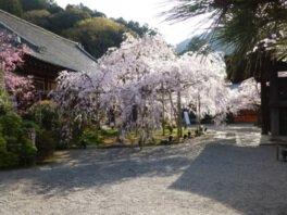 毘沙門堂の桜