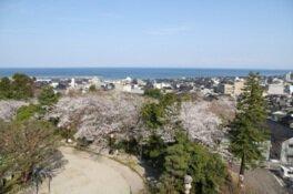 朝日山公園の桜