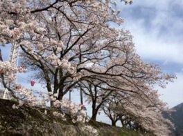 智頭河畔 桜土手