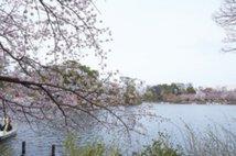 【桜・見頃】洗足池公園