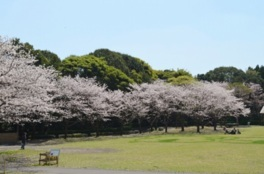 鹿児島市平川動物公園の桜