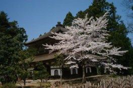 總持寺祖院の桜