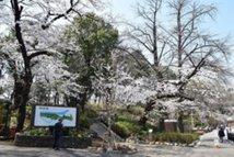 【桜・見頃】大田区多摩川台公園