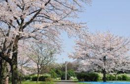 辰巳の森緑道公園の桜