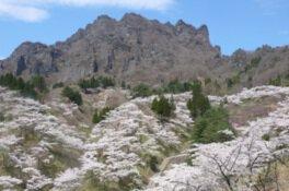 妙義山県立森林公園さくらの里の桜
