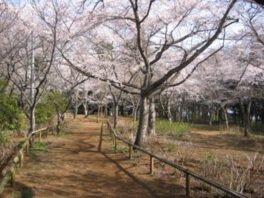 宗吾霊堂(裏手)の桜