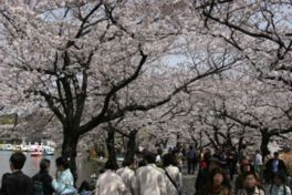 【一部通行止め】上野恩賜公園の桜
