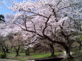 桜山公園の桜(茨城県)