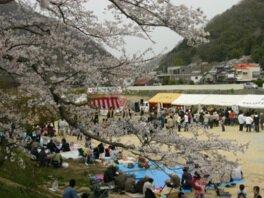 金川桜並木の桜