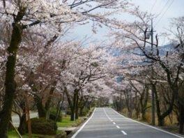 萩原桜並木の桜
