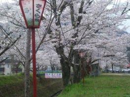 白谷公園の桜