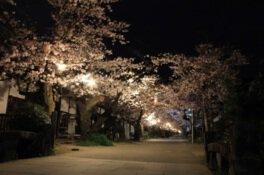 秋月杉の馬場通りの桜