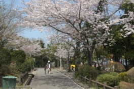 上野ヶ丘墓地公園の桜