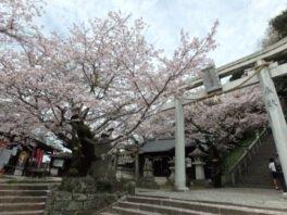 花岡八幡宮の桜