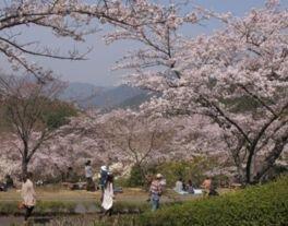 ひろしま遊学の森 広島県緑化センター さくら通りの桜