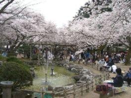 小丸山城址公園の桜