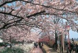 信濃川やすらぎ堤緑地の桜