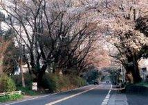 【桜・見頃】日光街道桜並木