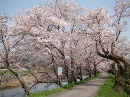 城山公園・法勝寺川土手の桜