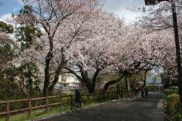 江波山公園の桜