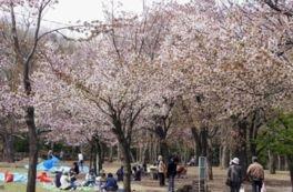 円山公園の桜(北海道)