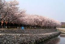 【桜・見頃】平和市民公園