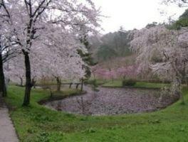 悠久山公園の桜