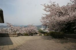比治山公園の桜