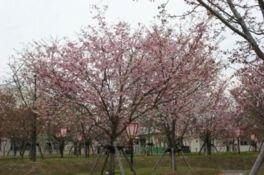 【2020公開中止】造幣局広島支局 花のまわりみち