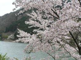 月ヶ瀬湖畔の桜