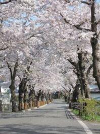 唐丹町本郷の桜