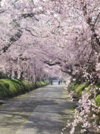 徳佐八幡宮の桜