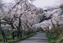 室根山 蟻塚公園の桜