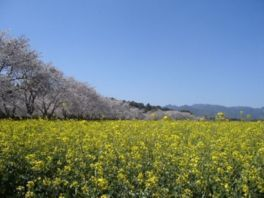 西都原古墳群の桜