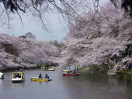 【一部通行止め】井の頭恩賜公園の桜