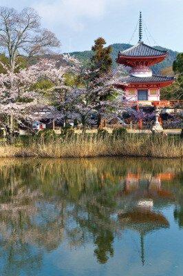「旧嵯峨御所大本山 大覚寺の桜」のお花見(京都市右京)