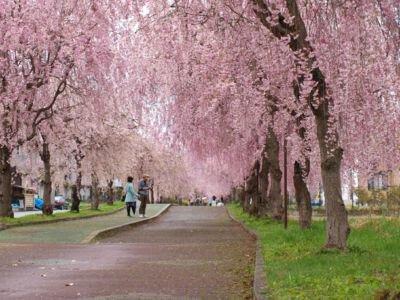 日中線しだれ桜並木の桜