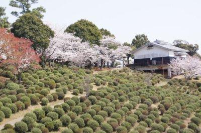 田原坂公園の桜