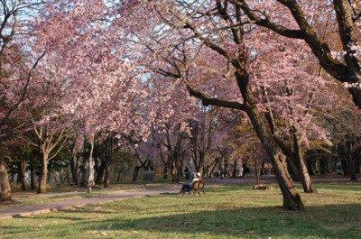 帯広市緑ケ丘公園の桜