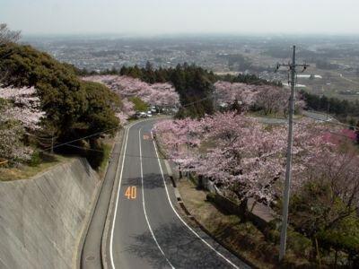 愛宕山(中腹)の桜