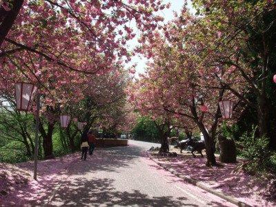 倶利伽羅県定公園の桜