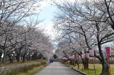 宮野運動公園の桜