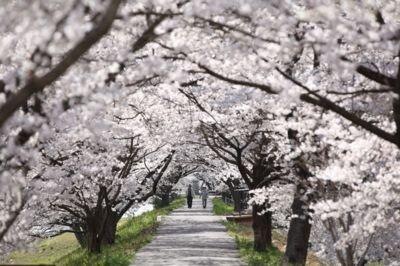三刀屋川河川敷の桜