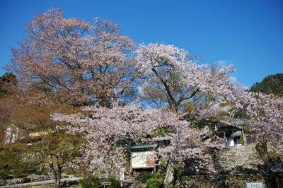 「国史跡」釈迦山 百済寺(湖東三山)の桜