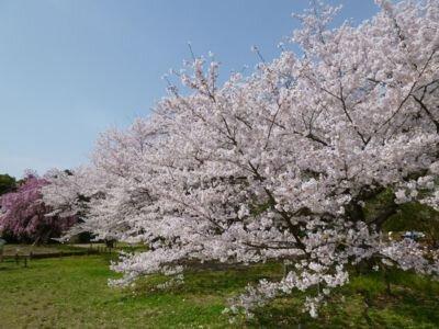 【臨時休園】京都府立植物園の桜