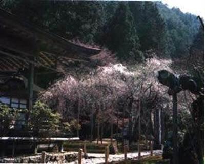 常照皇寺の桜
